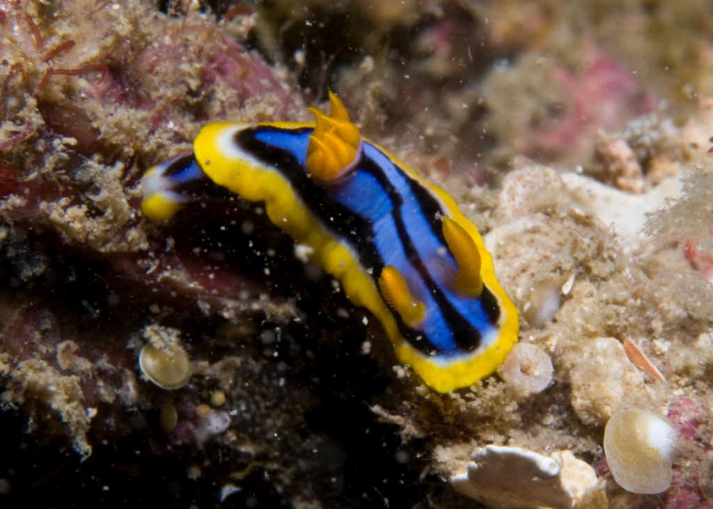 Chromodoris sp