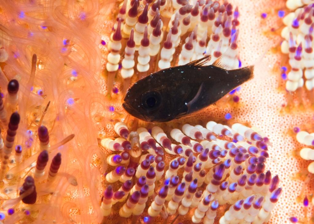 Cardinalfish1