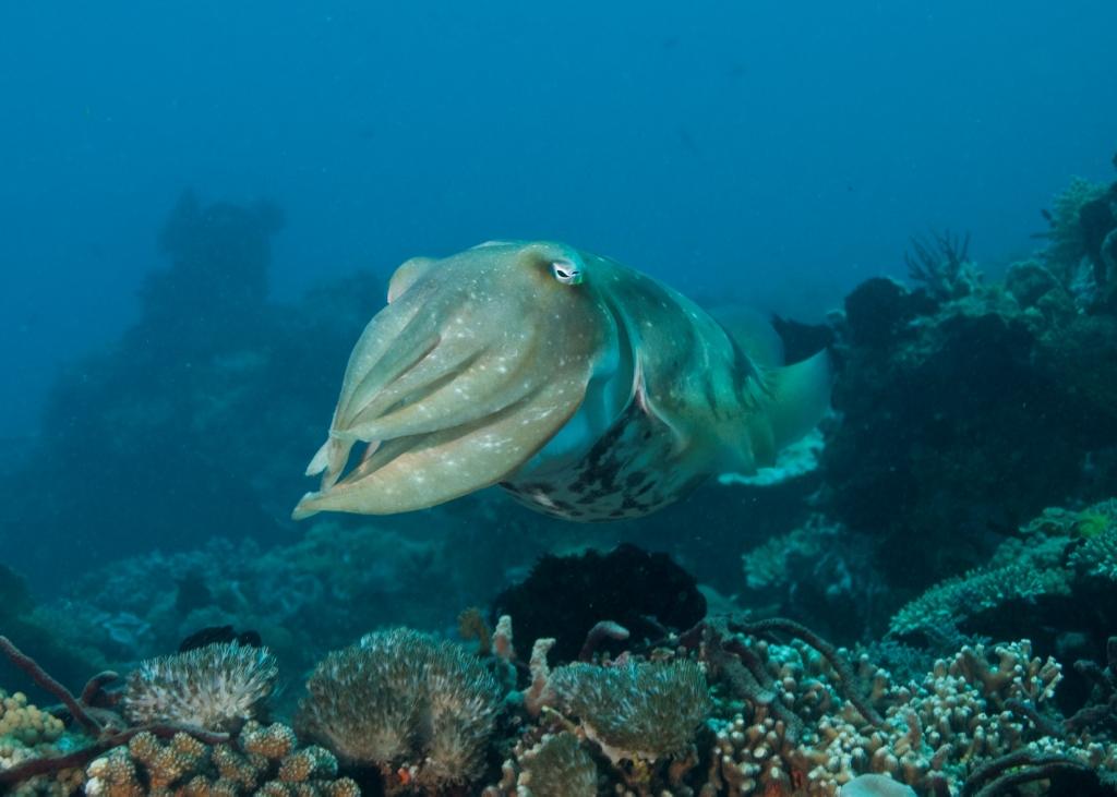 Cuttlefish1